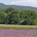 Organic Lavenders
