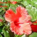 Une fleur d'hibiscus