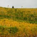 vignes en Otago