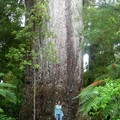 Yakas tree