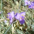 fleur_mauve