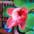 lotus rouge