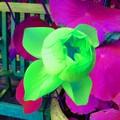 Lotus vif