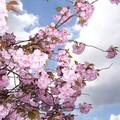 cerisier du japon en fleurs © 2005
