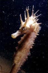 hippocampe moucheté