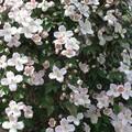 a mi floraison
