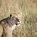 55 - Lionne au petit matin