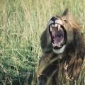 59 - Les dents de la savane
