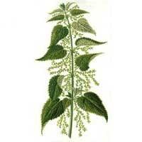 Des vertus des plantes par Macer Floridus, 1832 Ortie