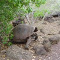 tortue geante des galapagos 1