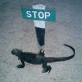 Stop_l_iguane