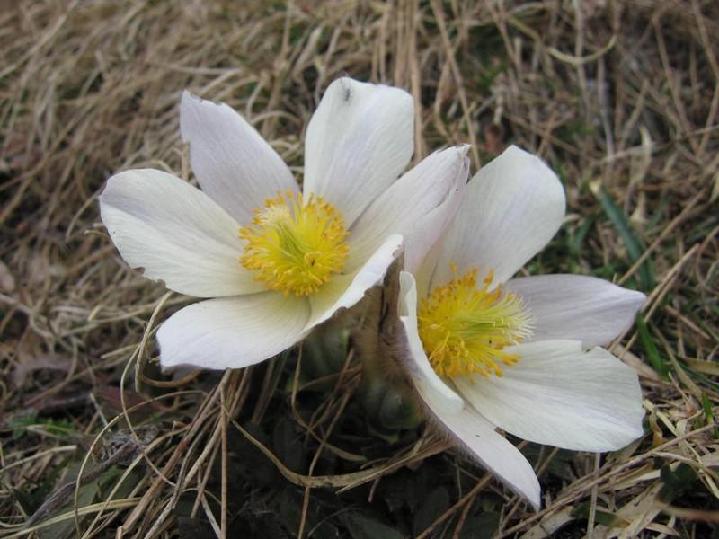 anemones dans les Alpes