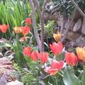 Tulipes La Roquette
