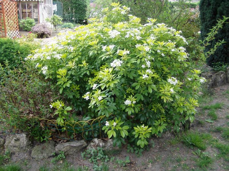 oranger du mexique photo de mon jardin mes fleurs et mes roses mon jardin de fleurs. Black Bedroom Furniture Sets. Home Design Ideas
