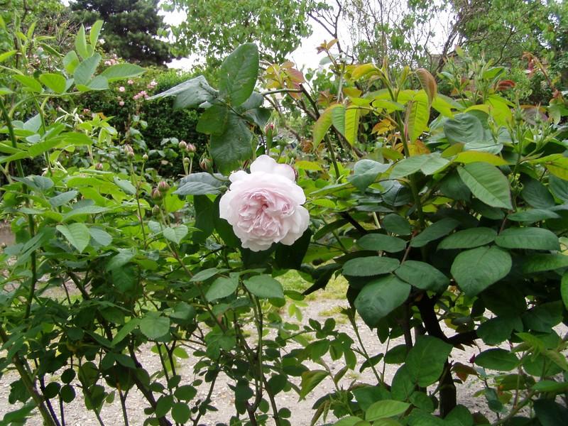 roses anciennes Fantin Latour