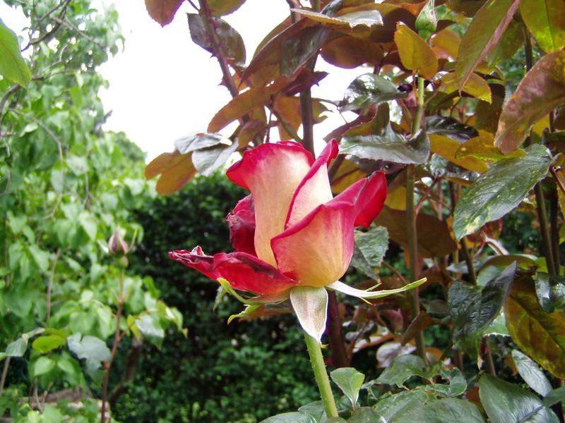 roses28_mai_009