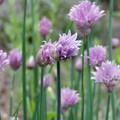 ciboulette en fleur