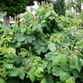 Buisson de roses Fantin Latour en boutons