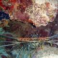Le CoinCoin des plongeurs - Les crustacés !