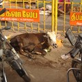 parking a vaches