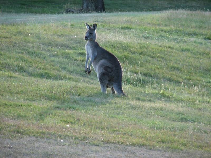 Mon 1er kangourou !!