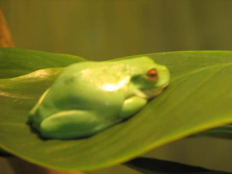 Une mini-grenouille (3cm maxi)