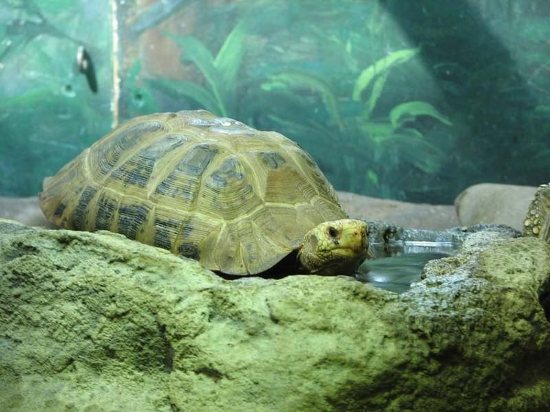 Madame la tortue géante