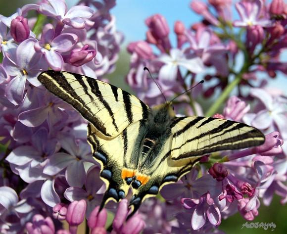 papillon_le_flambe_002