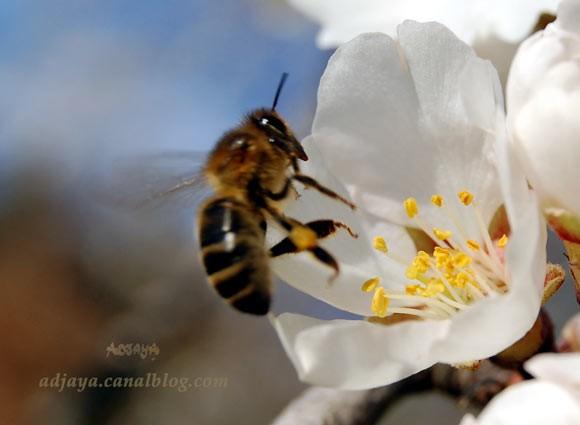 abeille_fleur_amandier