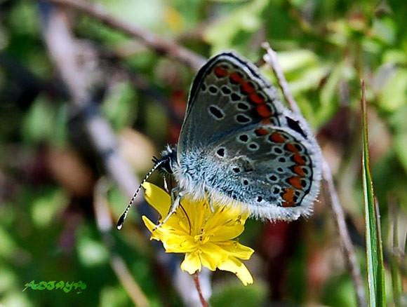 papillon_id_07