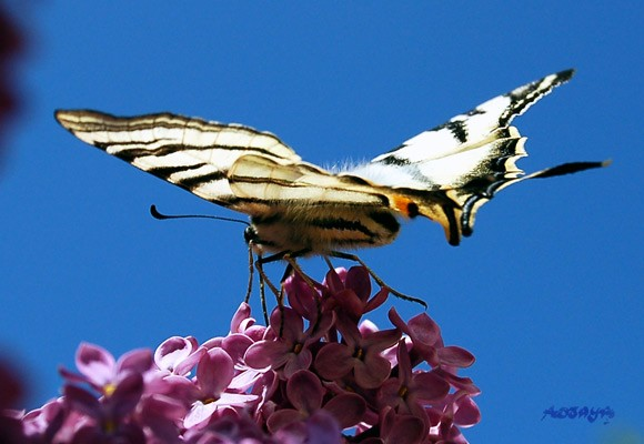 papillon_le_flambe