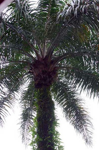 palmier à huile - Photo de Gabon en image(ele jp