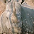 A Rhinocéros