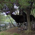 Okapis (2)