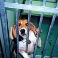 Ce beagle a contraint d'ingurgiter un produit chimique pendant 72 semaines.
