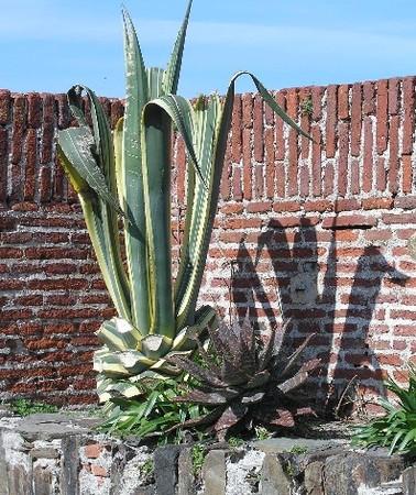 cactus_collioure