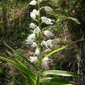 céphalanthère à longues feuilles (cephalanthera longifolia)