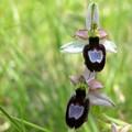 orchidées d'Isère