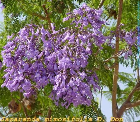 jacaranda_mimosifolia_fl_f_s