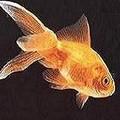 Neshi - Toujours aussi poisson...