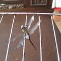 Petite libellule séchée