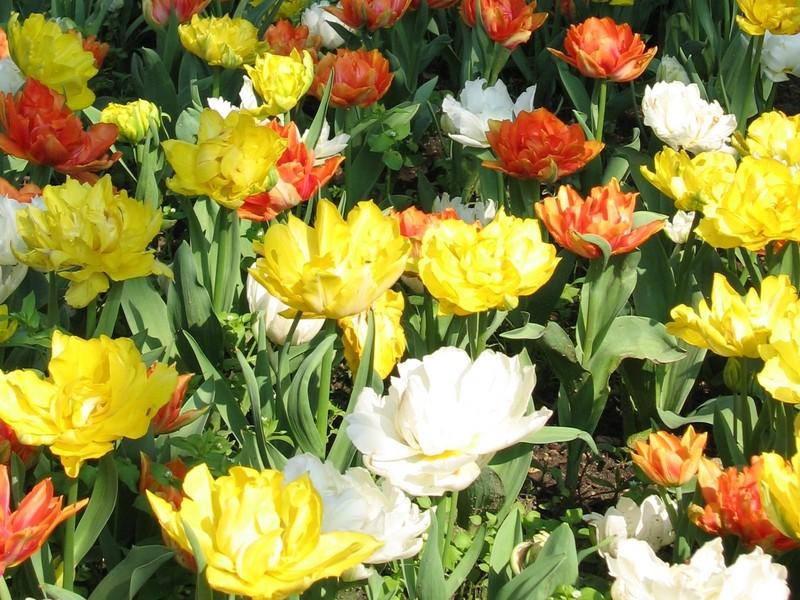 _home_vincent_photos_Divers_tulipes_01