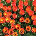 _home_vincent_photos_Divers_tulipes_03