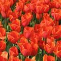 _home_vincent_photos_Divers_tulipes_06