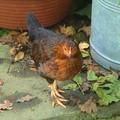 jeune poule