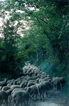 moutons_dans_un_chemin