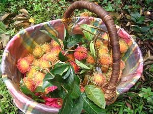 rambutan_cacao_2006_188