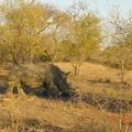 Un Rhinocéros dans le parc du Kruger (Afrique du Sud)