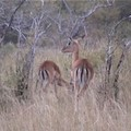 Des antilopes