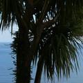 Leurs palmiers